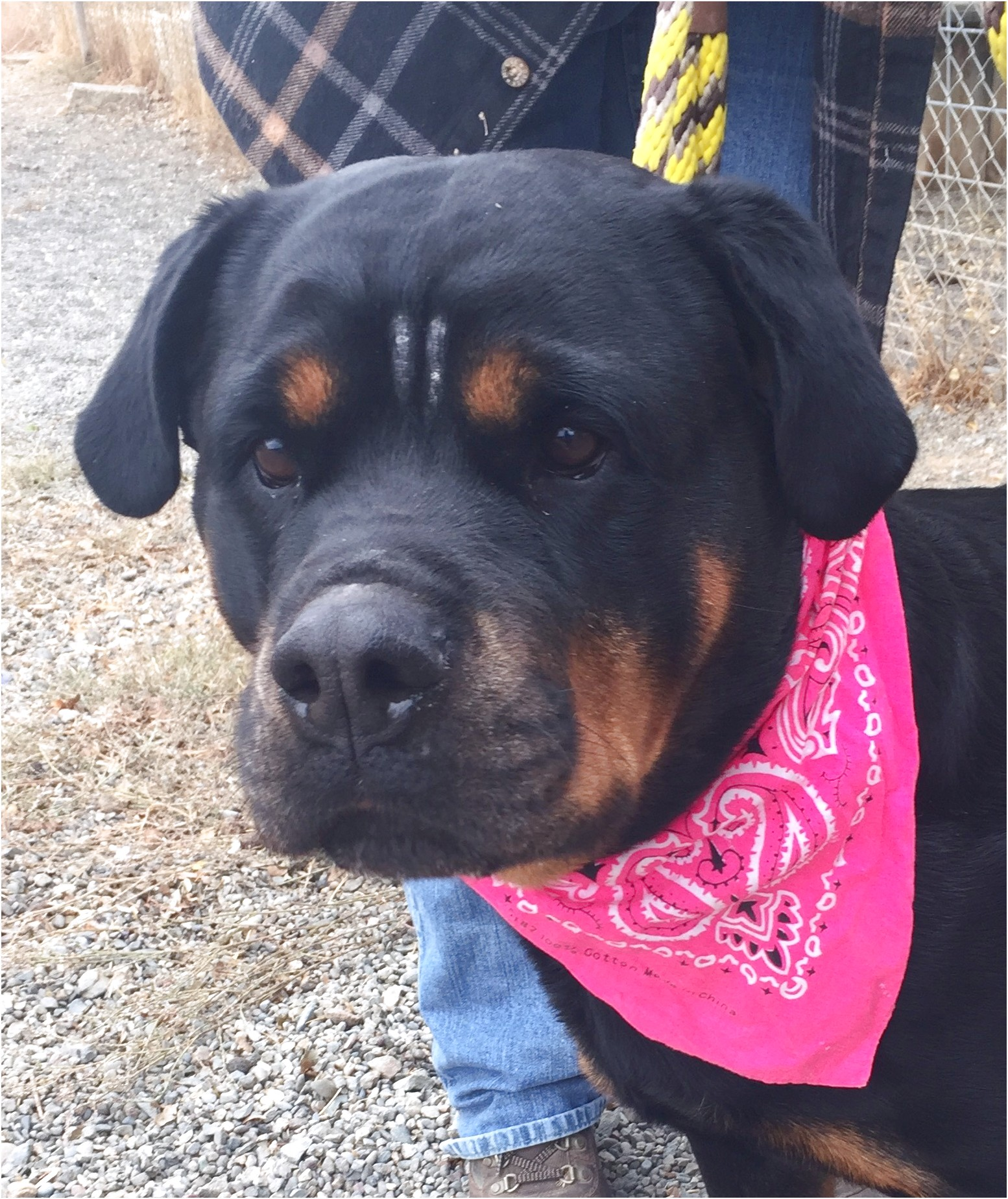 Purebred German Rottweiler Puppies For Sale Near Me