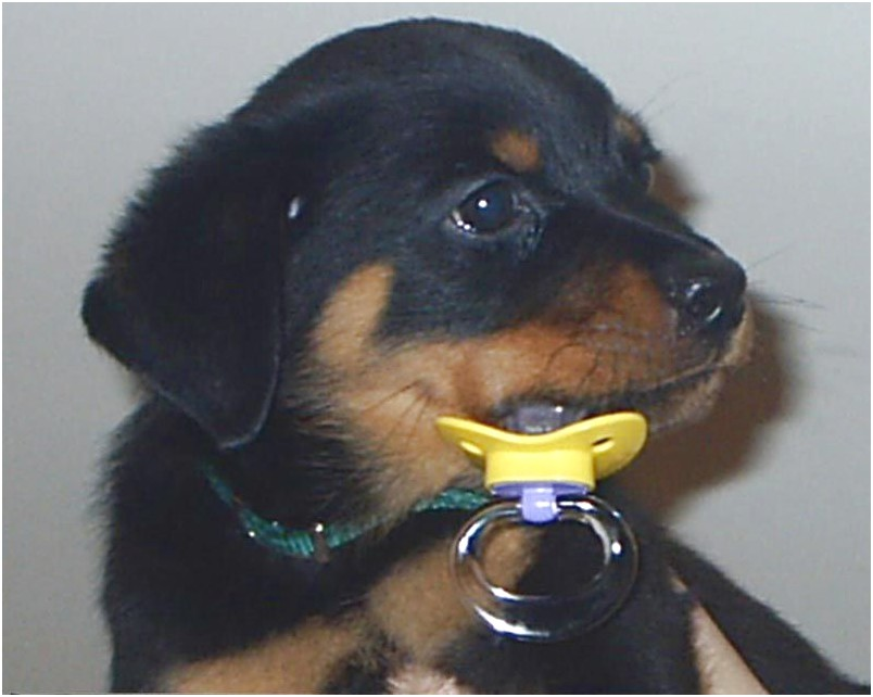 Purebred Rottweiler Puppies For Sale Perth