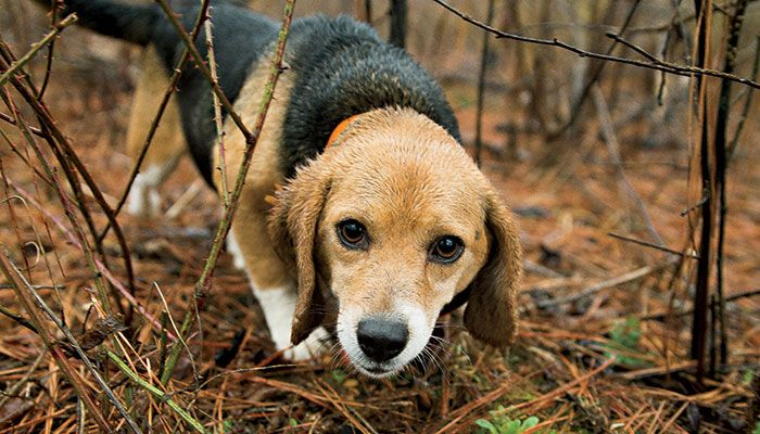 rabbit hunting beagles for sale in nc