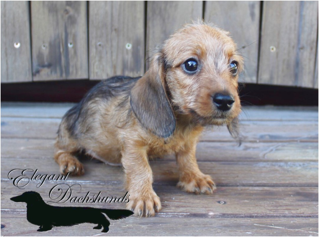 red dachshund puppies for sale in texas