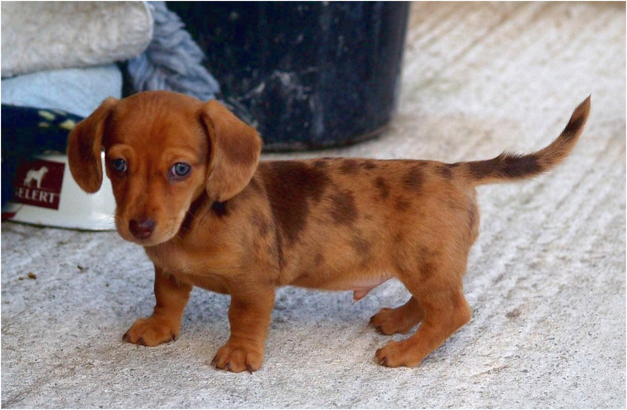Red Dle Miniature Dachshund Puppies