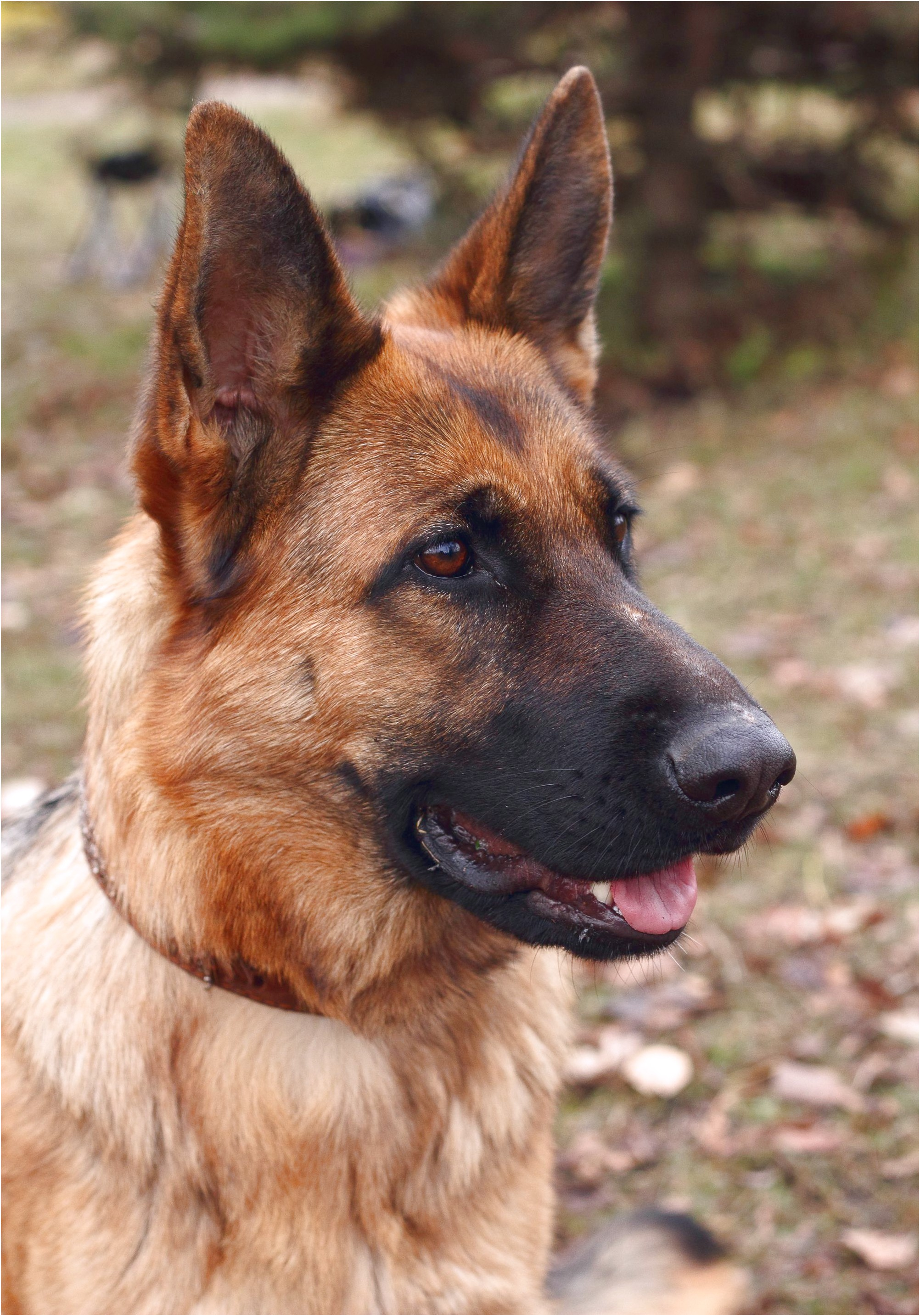 retired german shepherds for adoption