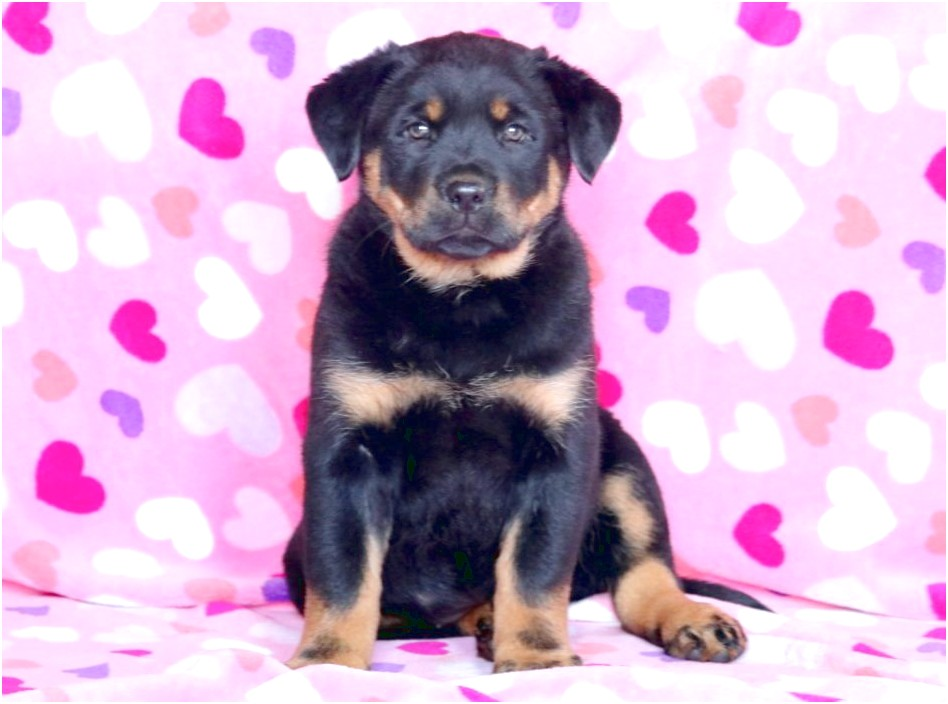 rottweiler mix puppies for sale near me