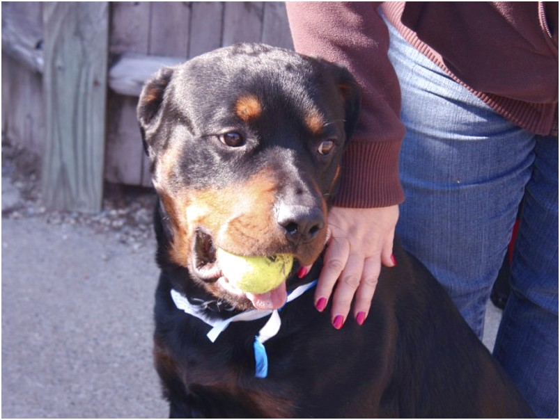 rottweiler puppies for adoption in massachusetts