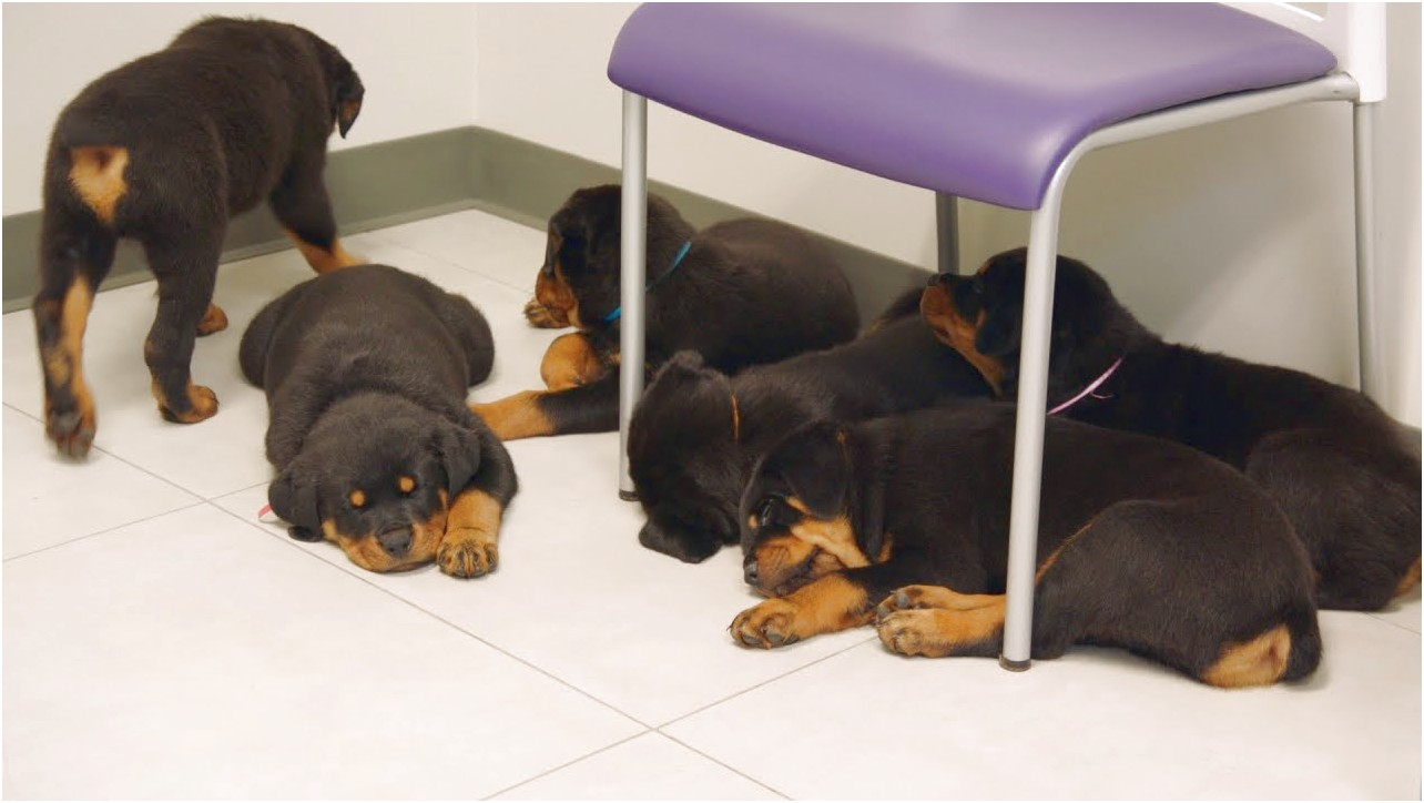 rottweiler puppies for adoption in nj