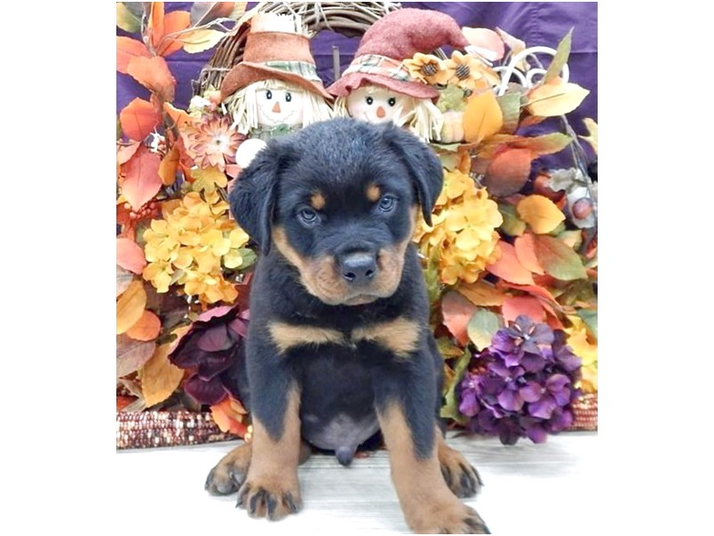 rottweiler puppies for sale in florida orlando