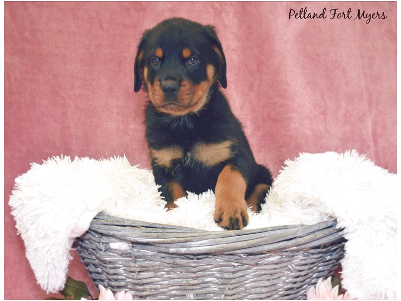 rottweiler puppies for sale in ft myers florida