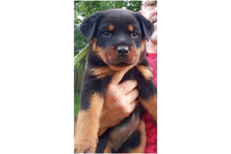 rottweiler puppies for sale in jacksonville florida