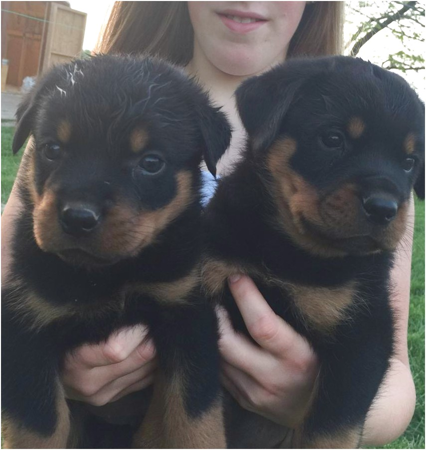 Rottweiler Puppies For Sale In Ohio Under 300 Dollars
