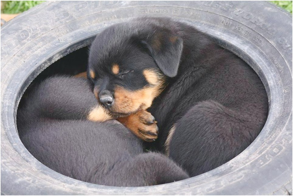 Rottweiler Puppies For Sale In Springfield Ma
