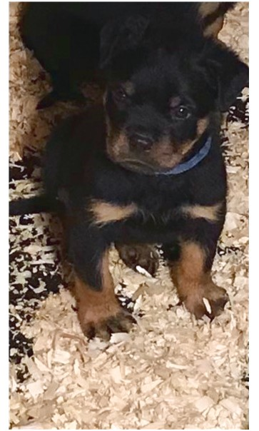 rottweiler puppies for sale near albany ny