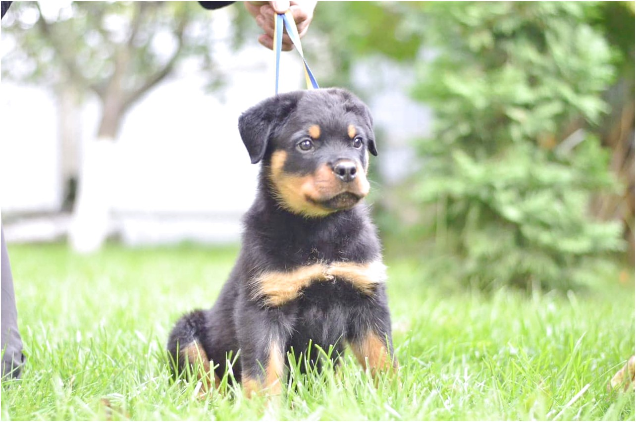 rottweiler puppies for sale near boston