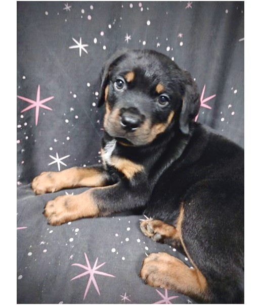 rottweiler puppies for sale near knoxville tn