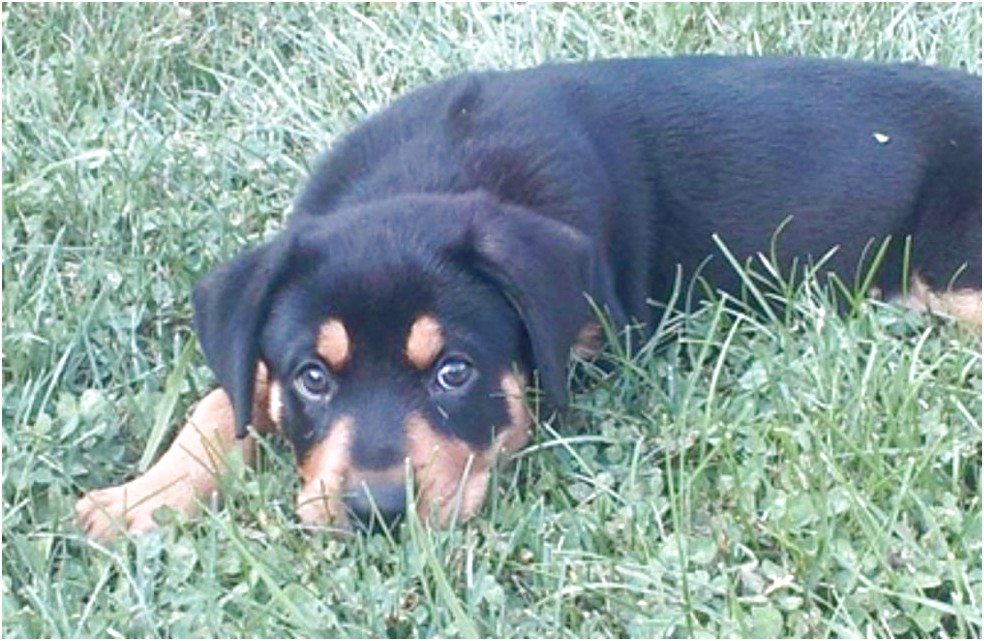 Rottweiler Puppies For Sale Near Me Craigslist