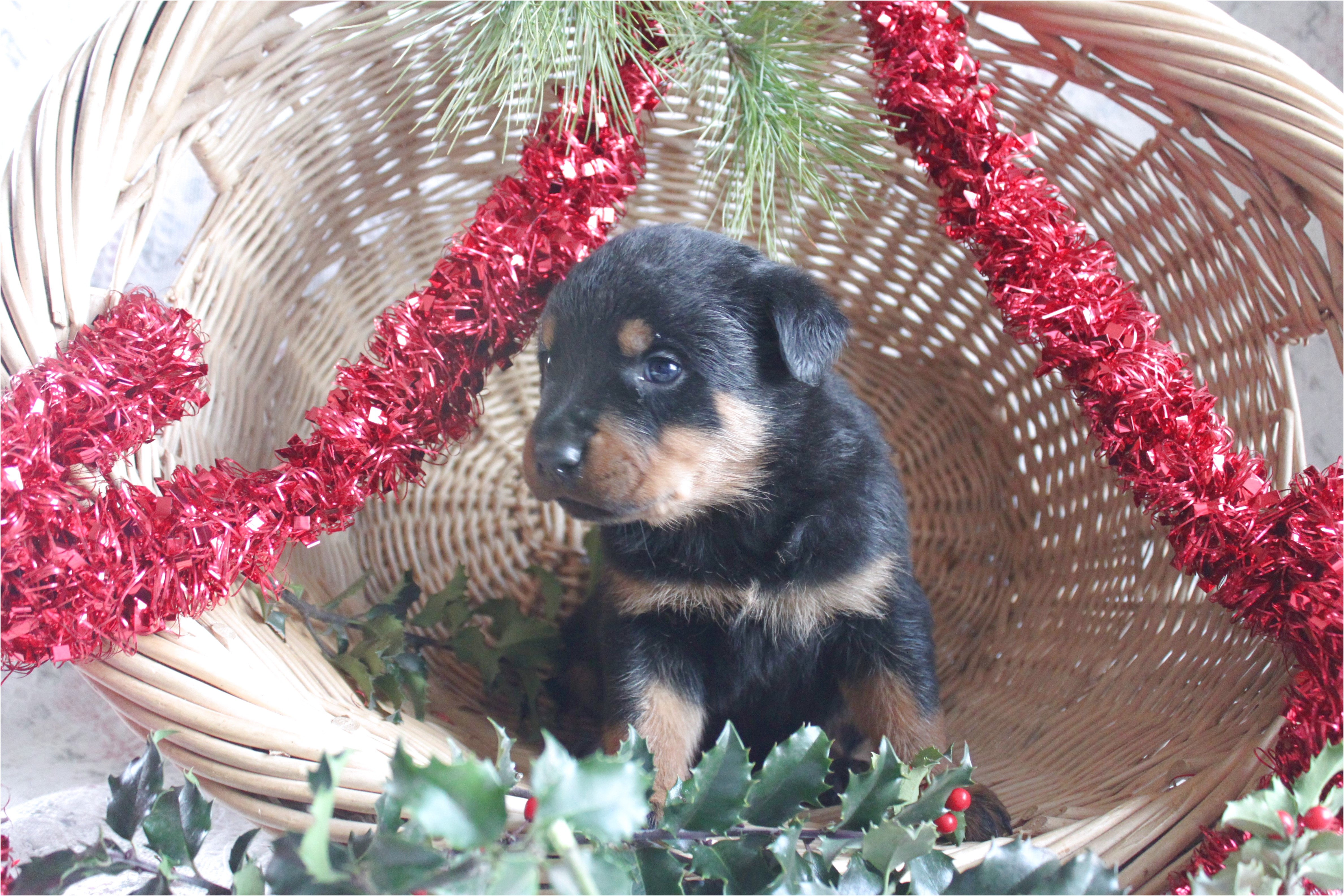 rottweiler pups for sale in ny
