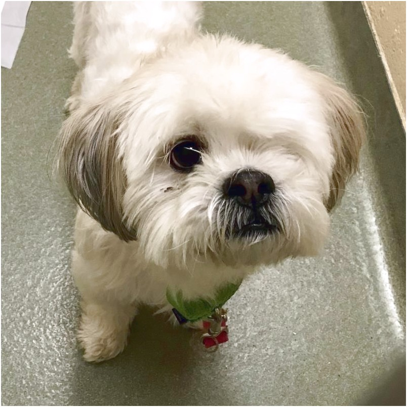 shih tzu adoption boston
