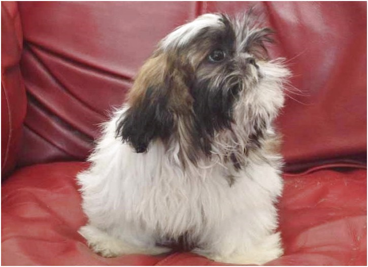 shih tzu adoption price