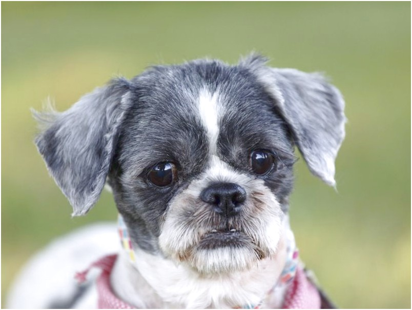 shih tzu adoption quebec