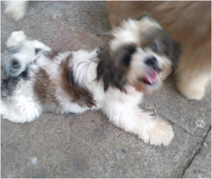 shih tzu female for sale 4k