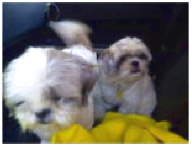 shih tzu for adoption ct
