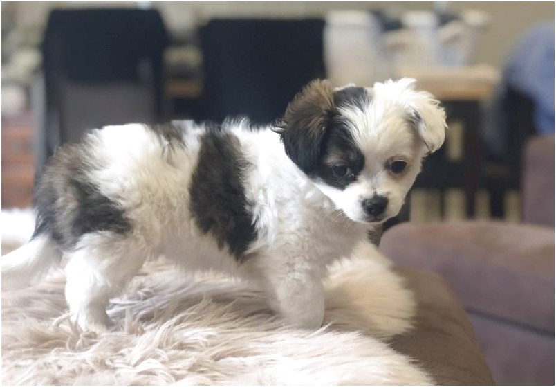 shih tzu for adoption in phoenix az