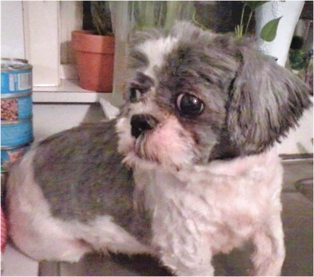 shih tzu for adoption ny