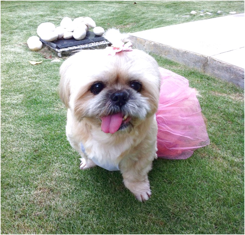shih tzu for adoption singapore