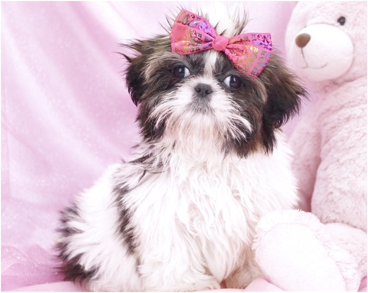shih tzu for sale 200