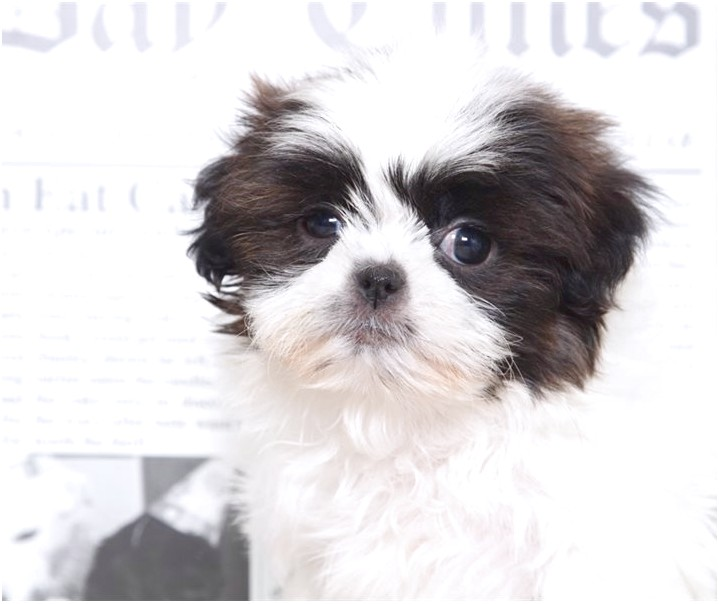 shih tzu for sale 300