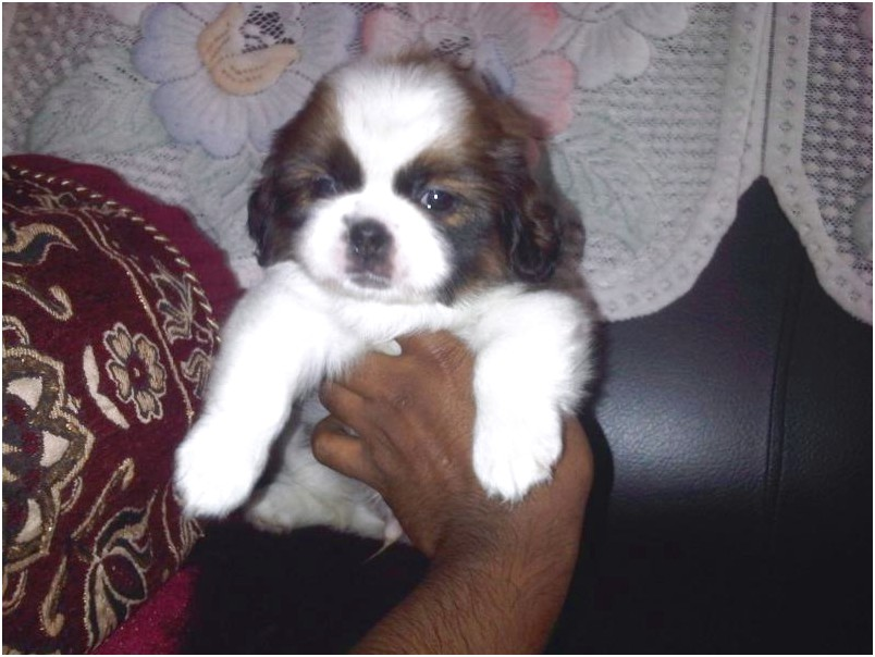shih tzu for sale 3000