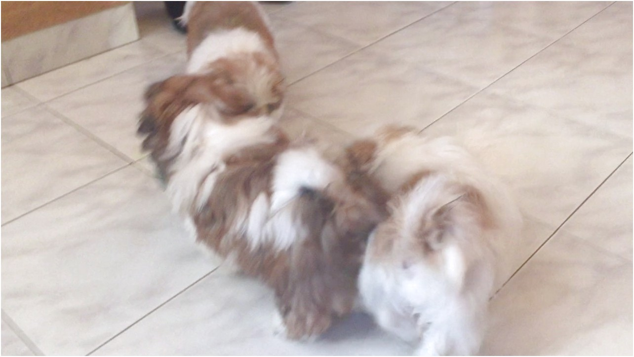 shih tzu for sale 5k