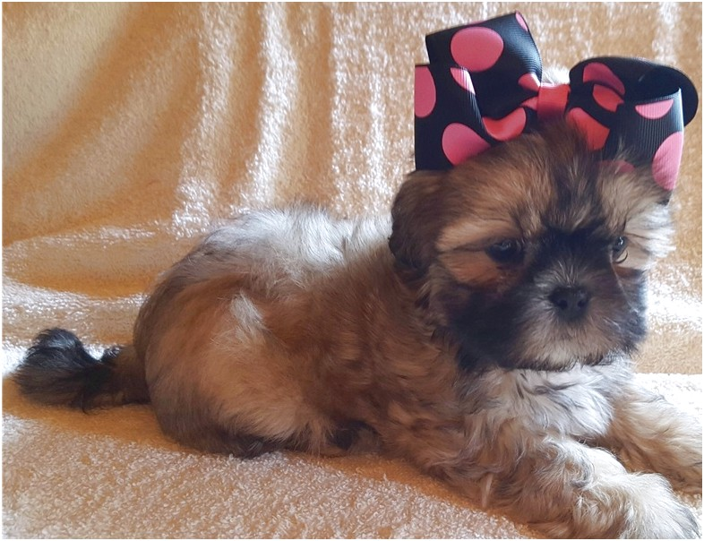 shih tzu for sale arkansas