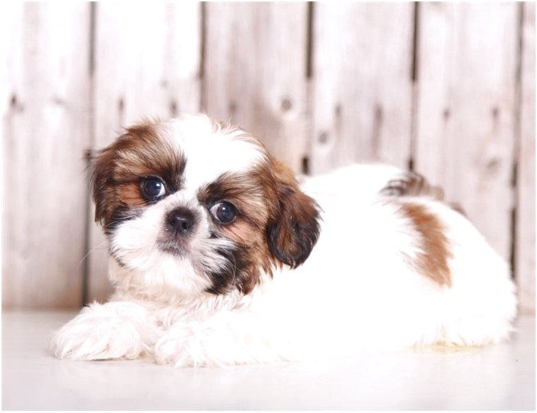 shih tzu for sale bc
