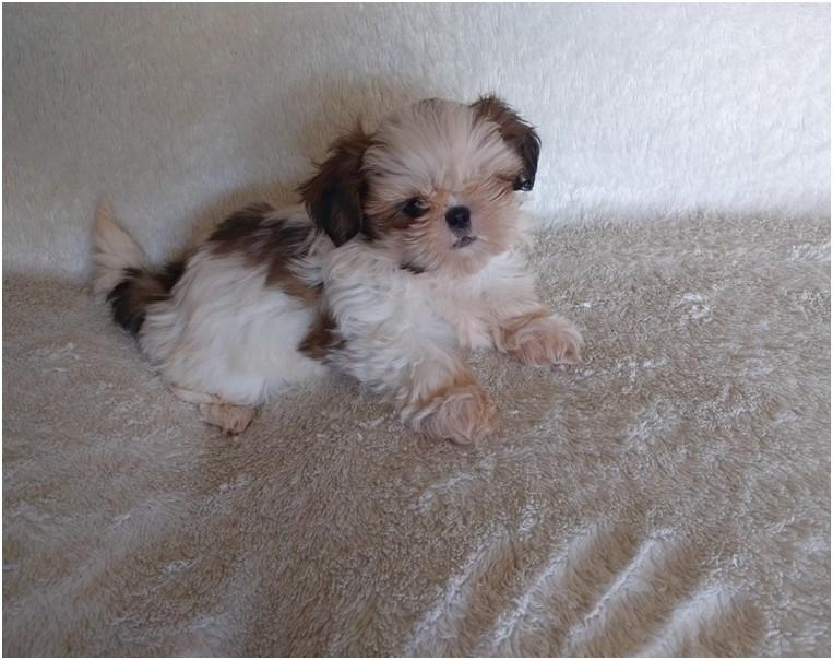 shih tzu for sale california