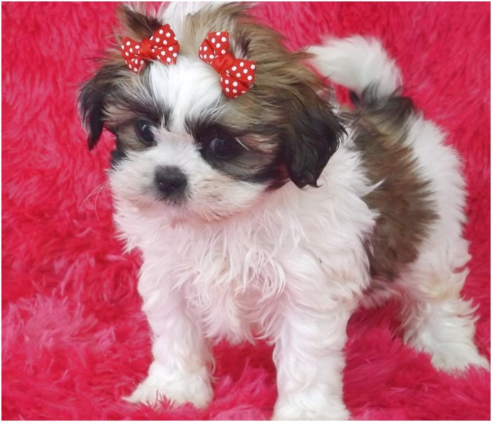 shih tzu for sale east texas
