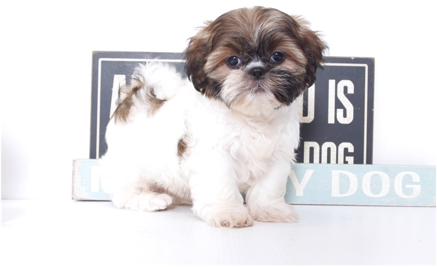 shih tzu for sale female