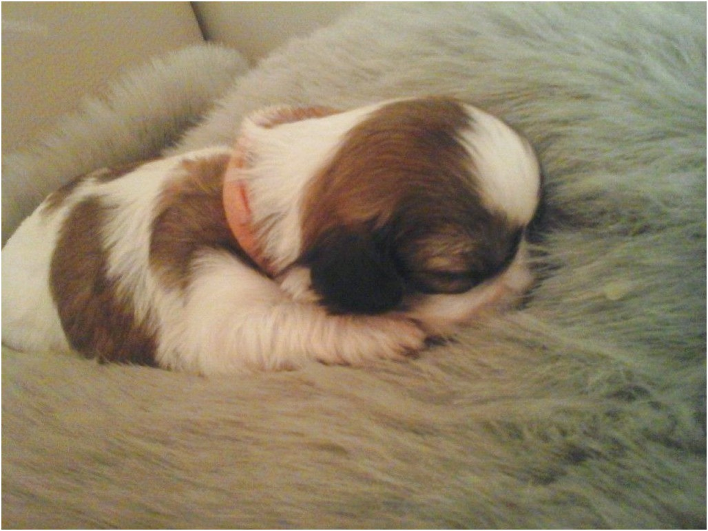 shih tzu for sale fife