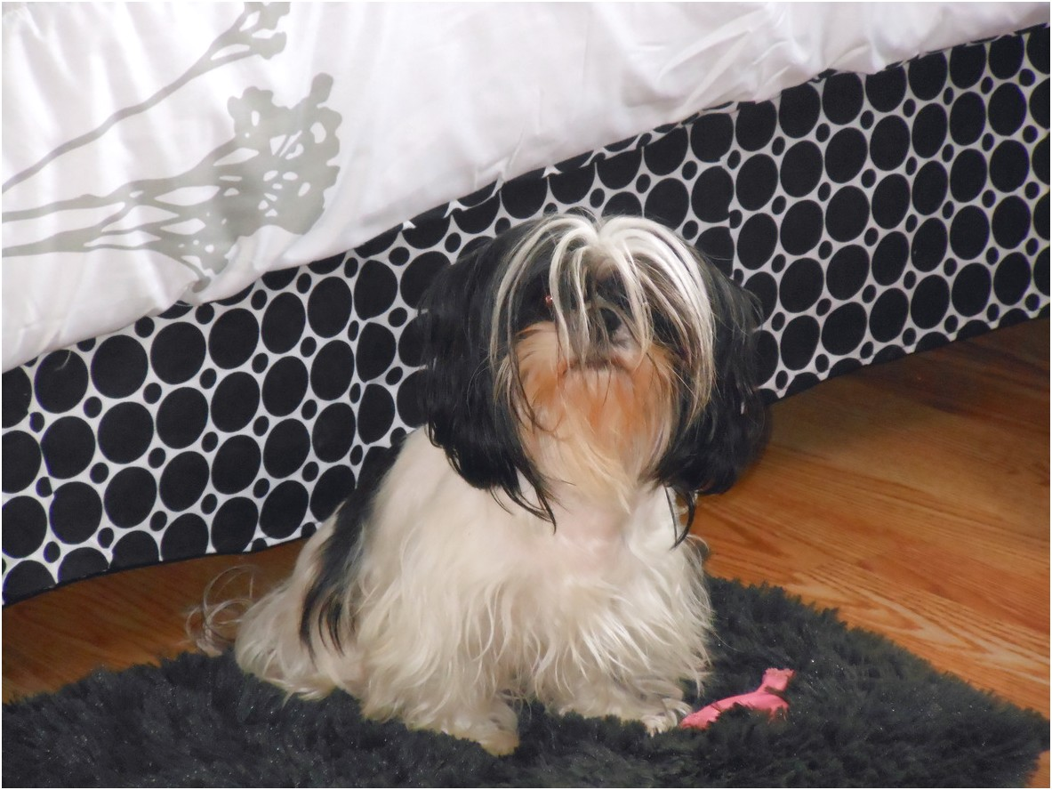 shih tzu for sale georgia