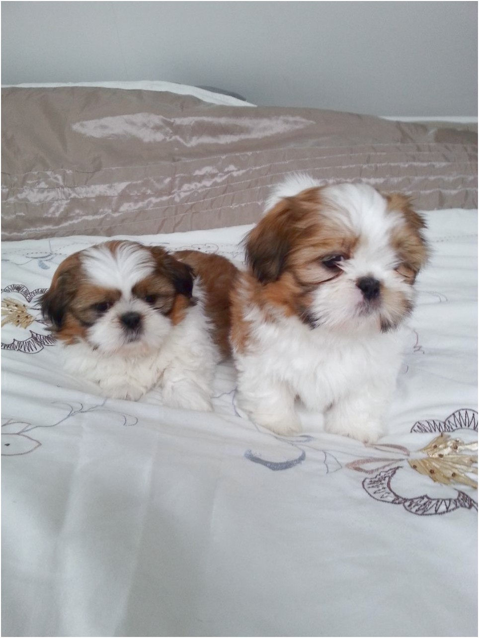shih tzu for sale glasgow