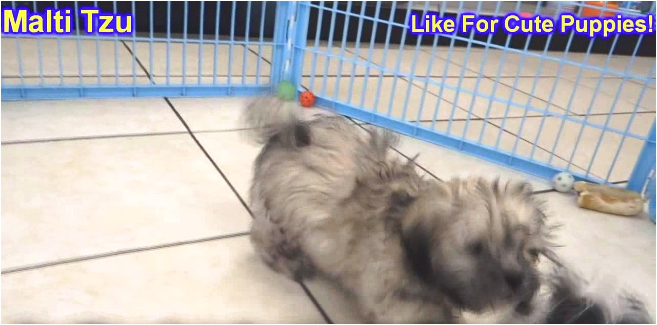 shih tzu for sale hawaii