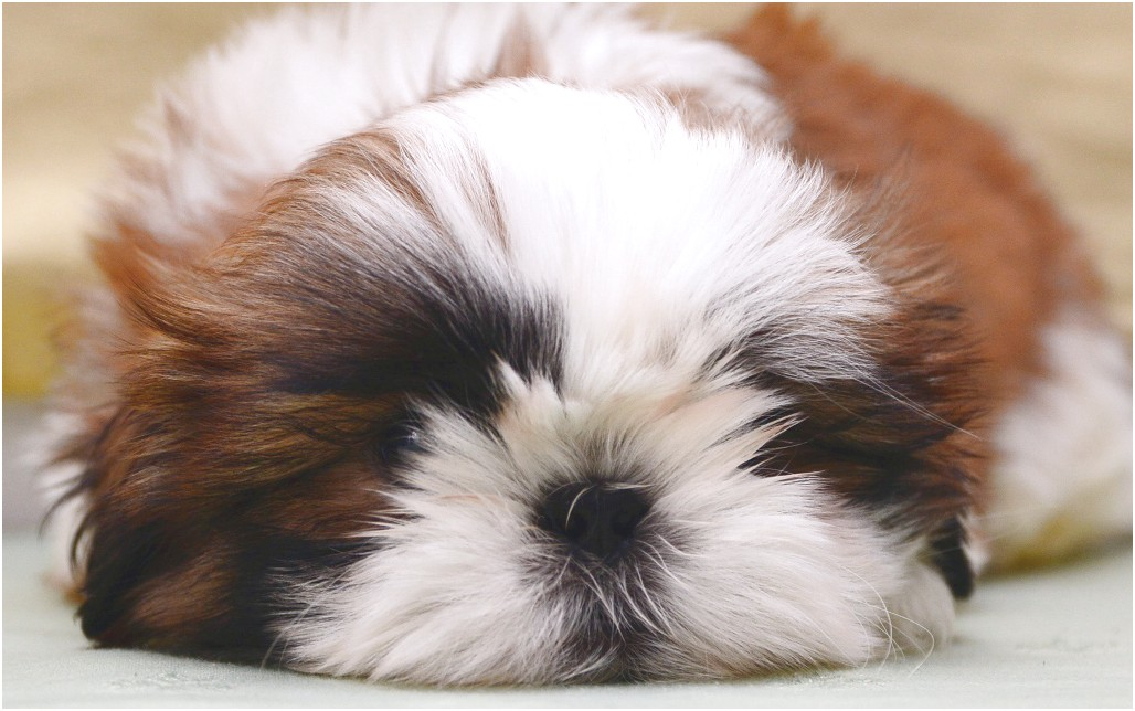 shih tzu for sale in qatar