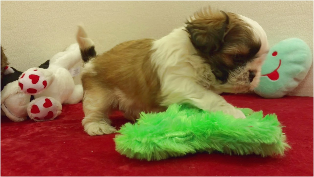 shih tzu for sale in texas