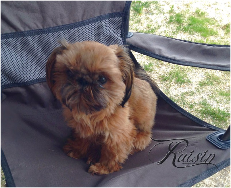 shih tzu for sale jackson tn