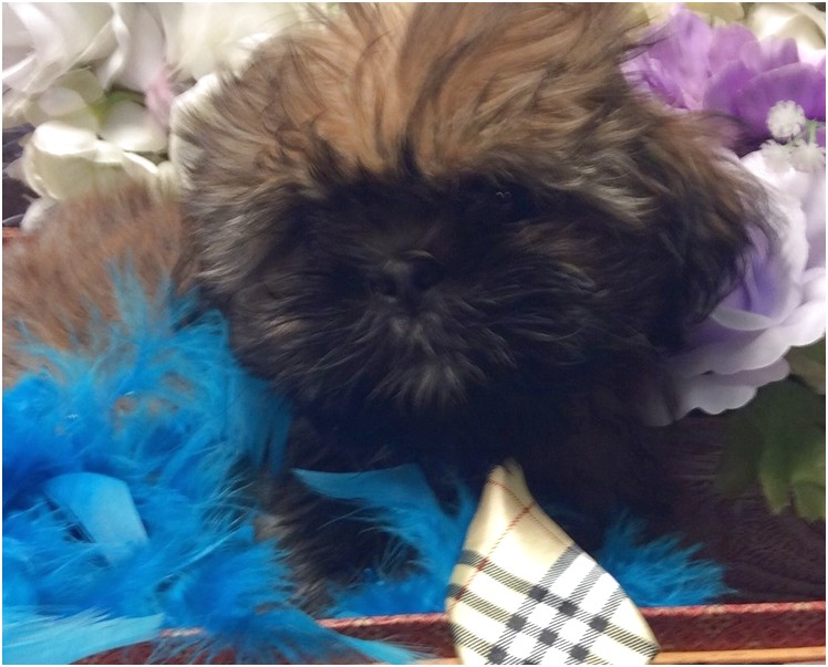 shih tzu for sale jacksonville fl