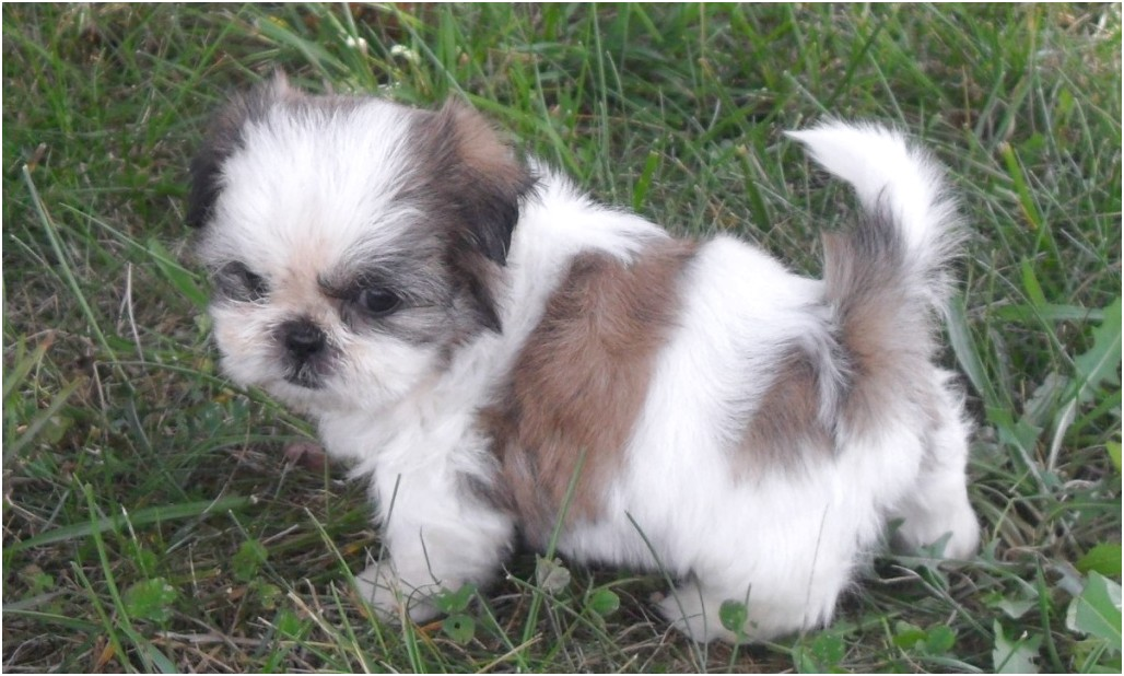 shih tzu for sale johannesburg