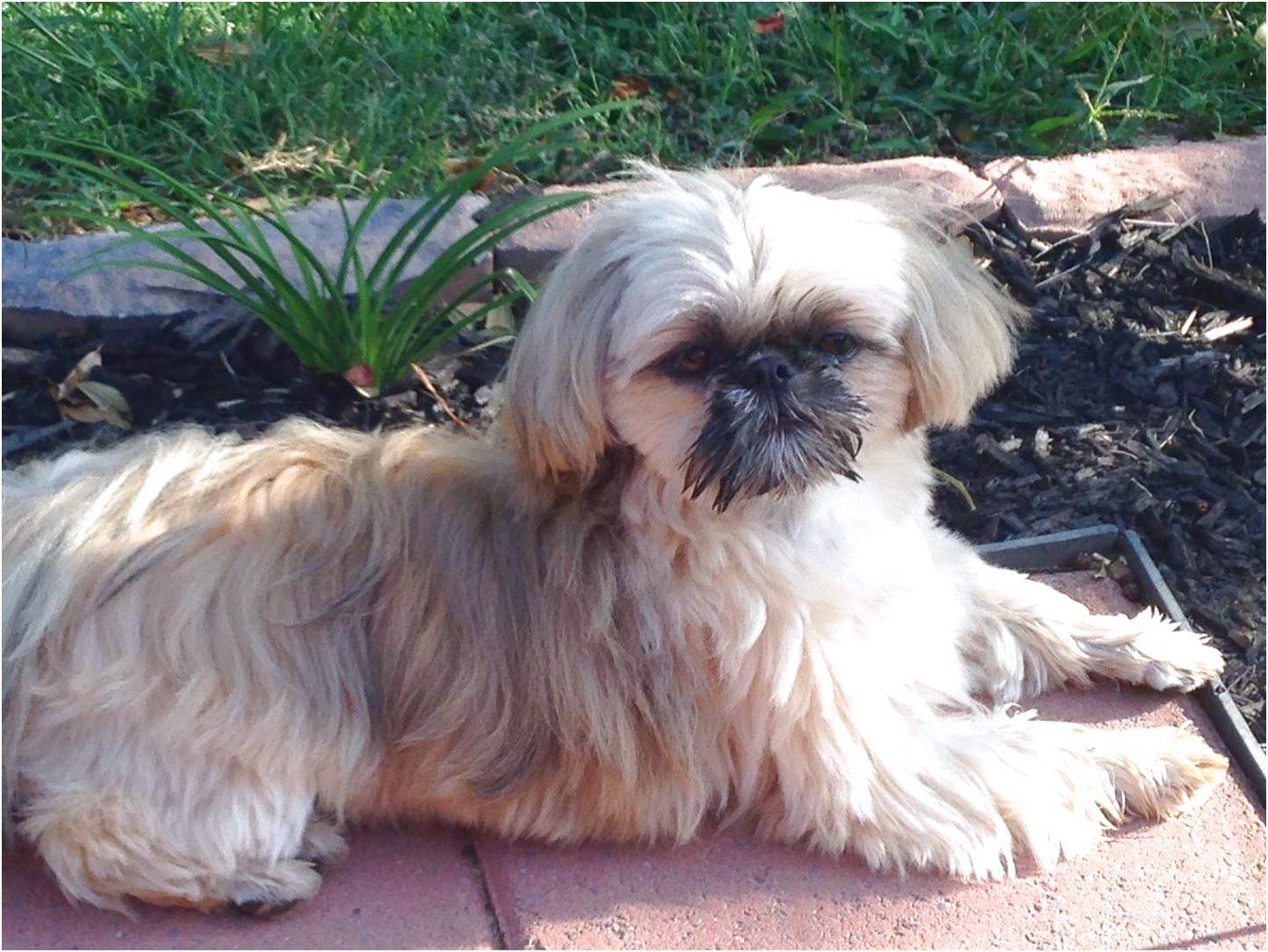 shih tzu for sale knoxville tn