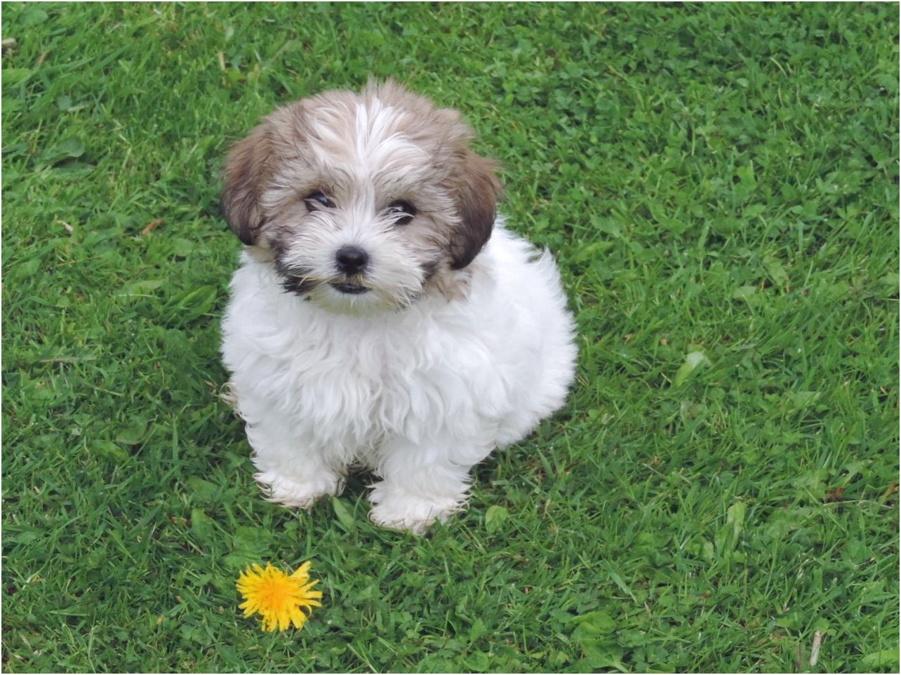 shih tzu for sale leeds