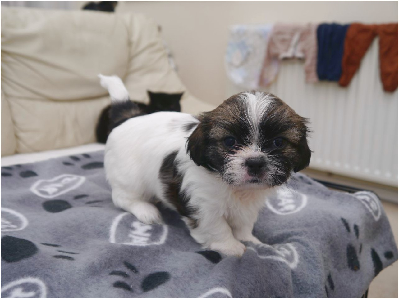 shih tzu for sale leicester