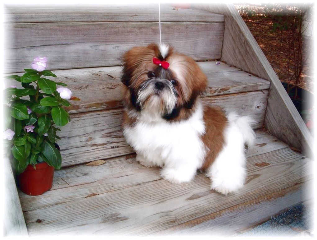 shih tzu for sale nc
