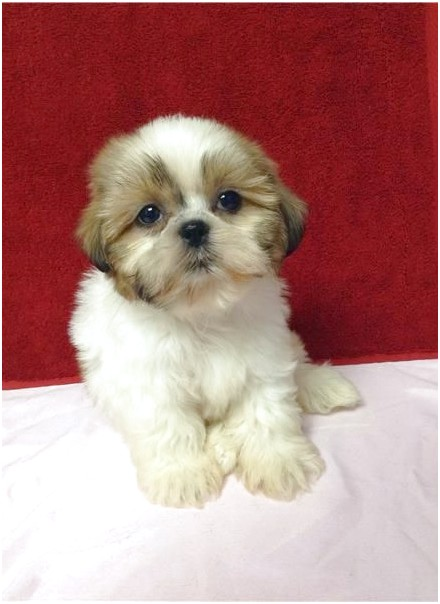 shih tzu for sale new york